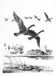 Geese Pair-2